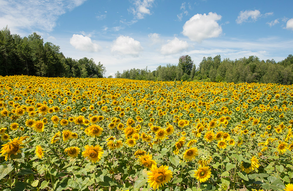 larsen-sunflowers-8.jpg