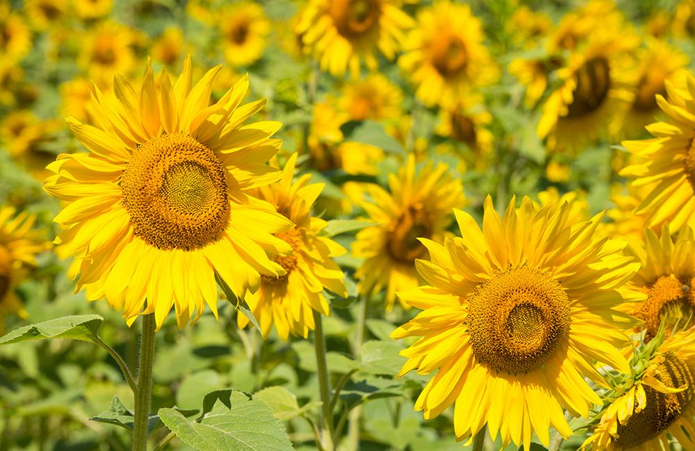larsen-sunflowers-7.jpg