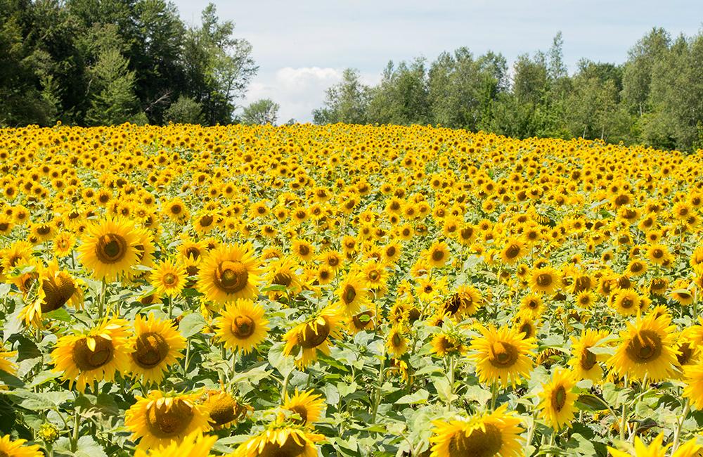 larsen-sunflowers-2.jpg