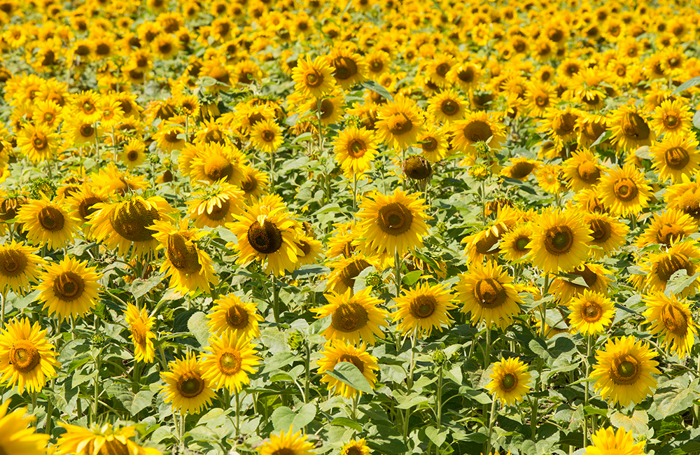 larsen-sunflowers-5.jpg