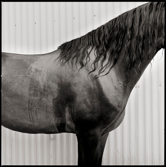 Vermont Morgan Horse Photography by Brett Simison