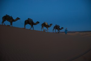 Riderless camels head home for the night. Photo by Patricia Pomerleau